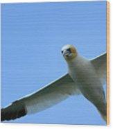 Northern Gannet Flying Through Blue Skies Wood Print by Sami Sarkis