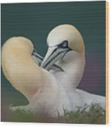 Northern Gannets Wood Print