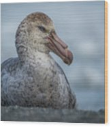 Northern Giant Petrel Sitting On Sandy Beach Wood Print