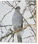 Northern Goshawk Wood Print