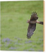 Northern Harrier Fly By Wood Print