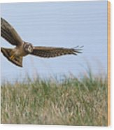 Northern Harrier Hawk Scouring The Field Wood Print