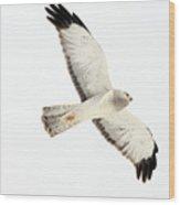 Northern Harrier Hawk, Yukon Wood Print