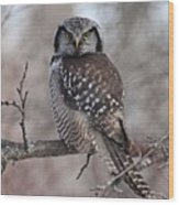 Northern Hawk Owl 9470 Wood Print