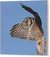 Northern Hawk Owl Wood Print