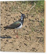 Northern Lapwing Wood Print