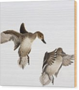 Northern Pintail Anas Acuta Duck Wood Print