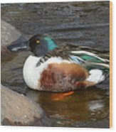 Northern Shoveler Duck Drake Wood Print
