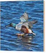 Northern Shoveler Duck Landing Wood Print