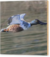 Northern Shoveler On The Wing Wood Print