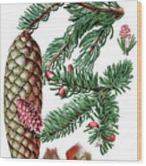 Norway Spruce, Pinus Abies Wood Print