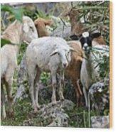 Nosy Sheep Wood Print
