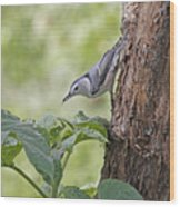 Nuthatch On The Move Wood Print