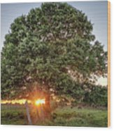 Oak At Sunset Wood Print