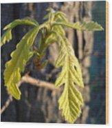 Oak Leaves In May Dawn Light Wood Print