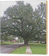 Oak  Tree  Jennings  Louisiana Wood Print