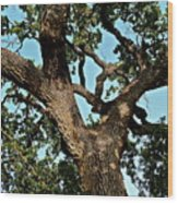 Oak Tree Two Wood Print