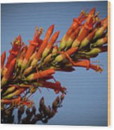 Ocotillo Flower Wood Print