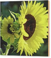 Office Art Sun Flowers Sunlit Sunflower Giclee Baslee Troutman Wood Print