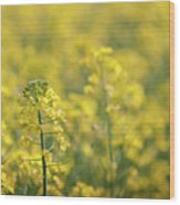 Oilseed Rape Wood Print