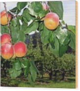Okanagan Apricots Wood Print by Will Borden