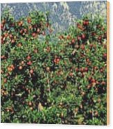 Okanagan Valley Apples Wood Print
