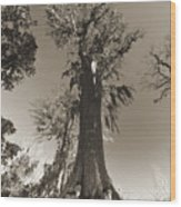 Old Cypress Tree Wood Print