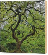 Old Japanese Maple Tree Wood Print