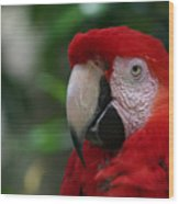 Old Red Parrot Wood Print