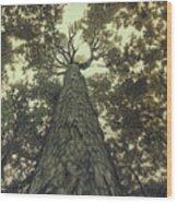 Old Sugar Maple Tree Wood Print