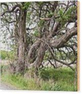 Old Weathered Tree Wood Print