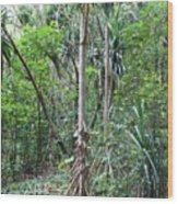 Oldest Tree In Secret Falls Or Uluwehi Falls Wood Print