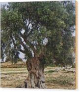 Olive Tree Sicily Wood Print