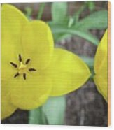 One And A Half Yellow Tulips Wood Print
