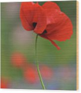 One Red Poppy Wood Print