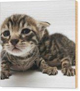 One Week Old Kittens Wood Print