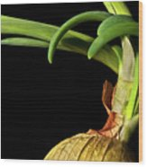 Onion Sprouting Wood Print