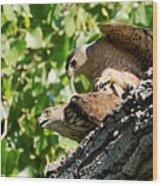 Cooper's Hawks Mating Wood Print