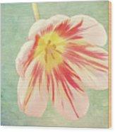 Open Bi-coloured Tulip Wood Print