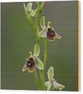 Ophrys Bornmuelleri Wood Print