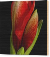 Orange Amaryllis Bloom Wood Print