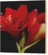 Orange Amaryllis Hippeastrum 12-25-2010 Wood Print