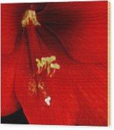 Orange Amaryllis Hippeastrum Bloom 12-29-10 Wood Print