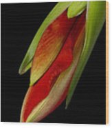 Orange Amaryllis Hippeastrum In The Beginning 2-21-10 Wood Print