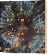 Orange And Black Anemone, Komodo Wood Print