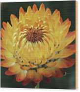 Orange And Yellow Strawflower Wood Print