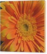 Orange And Yellow Tip Gerbera Daisy Wood Print