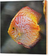 Orange Aquarium Fish In Zoo Wood Print