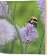 Orange-belted Bumblebee On Chive Blossoms Wood Print