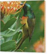 Orange-breasted Sunbird Feeding On Protea Blossom Wood Print
